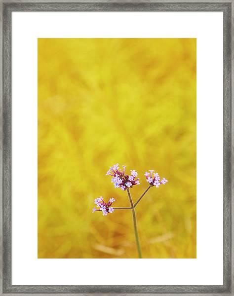 Verbena Framed Print