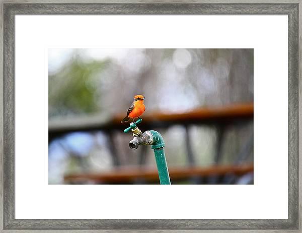 Vermilion Flycatcher Two Framed Print