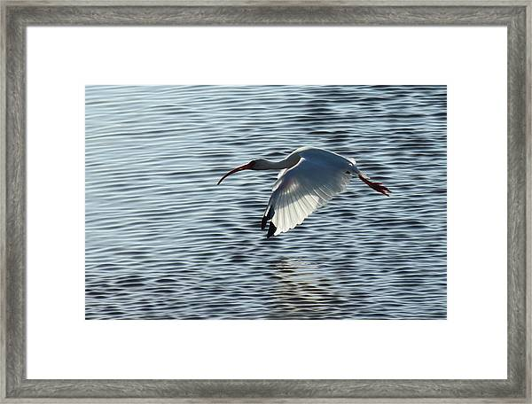 Ibis Fly By Framed Print