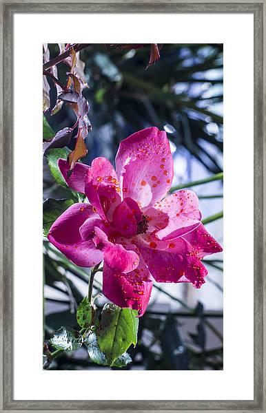 Vibrant Pink Rose Framed Print