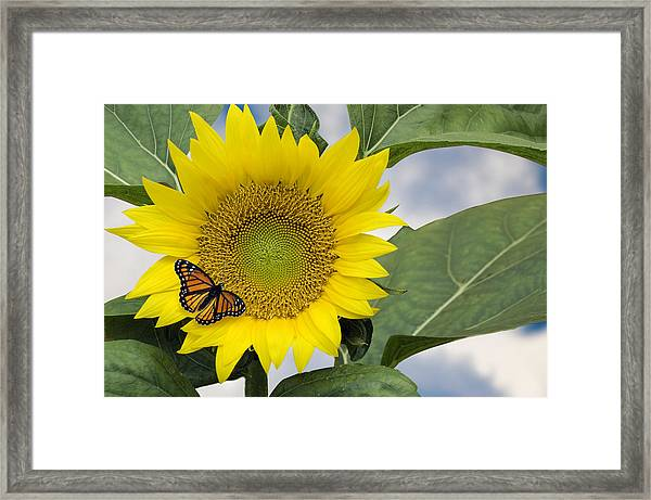 Viceroy And Sunflower Framed Print