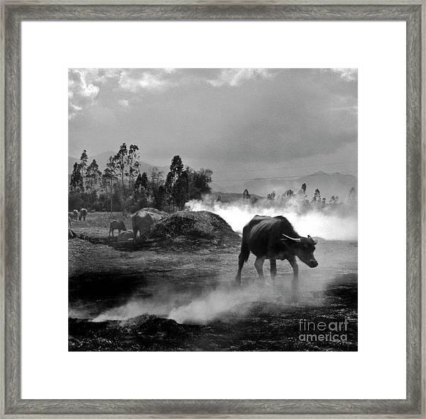 Vietnamese Water Buffalo  Framed Print