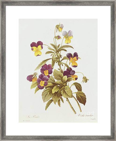 Viola Tricolour  Framed Print