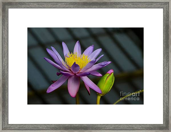 Violet And Yellow Water Lily Flower With Unopened Bud Framed Print