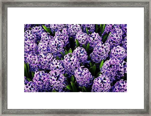Violet Hyacinth Framed Print