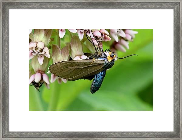 Virginia Ctenucha Moth Framed Print