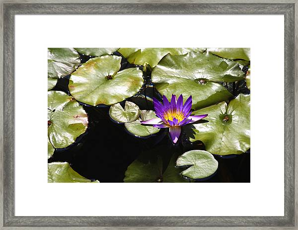Vivid Purple Water Lilly Framed Print