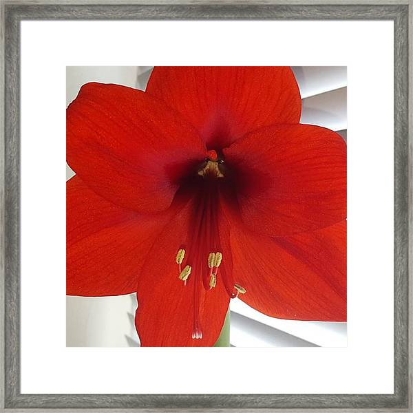 Waited 8 Weeks For My Giant Amaryllis Framed Print by Dante Harker
