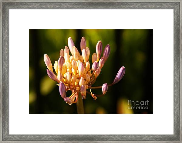 Waiting To Blossom Into Beauty Framed Print
