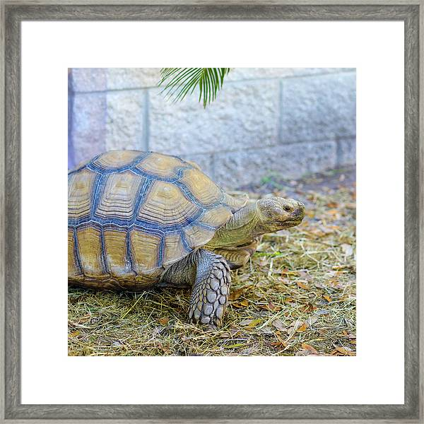 Walking Turtle Framed Print