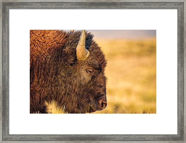 Warm Bison Framed Print