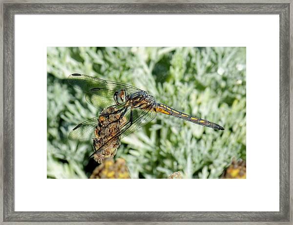 Warming-up - Darner Dragonfly Framed Print