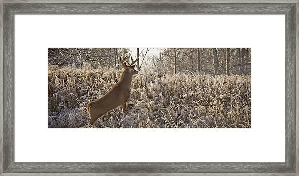 Wary Buck Framed Print