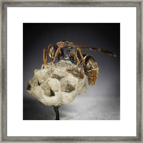 Wasp On A Nest Framed Print