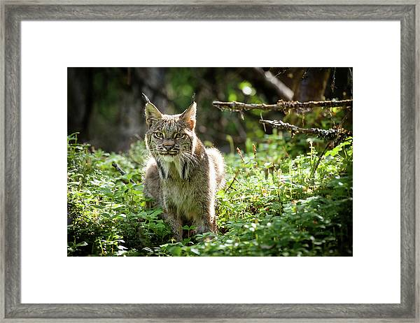 Watchful Mama Lynx Framed Print