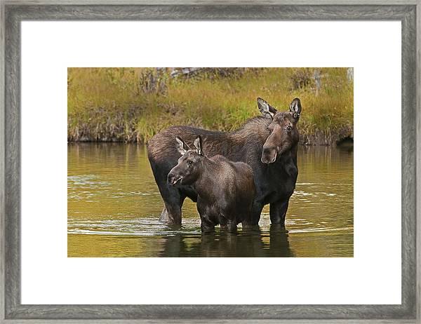 Watchful Moose Framed Print