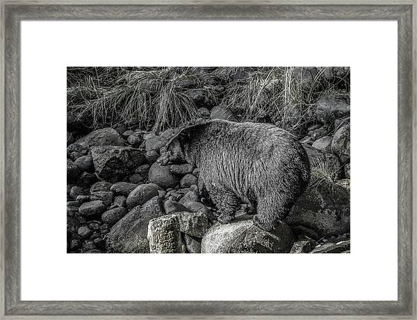Watching Black Bear Framed Print