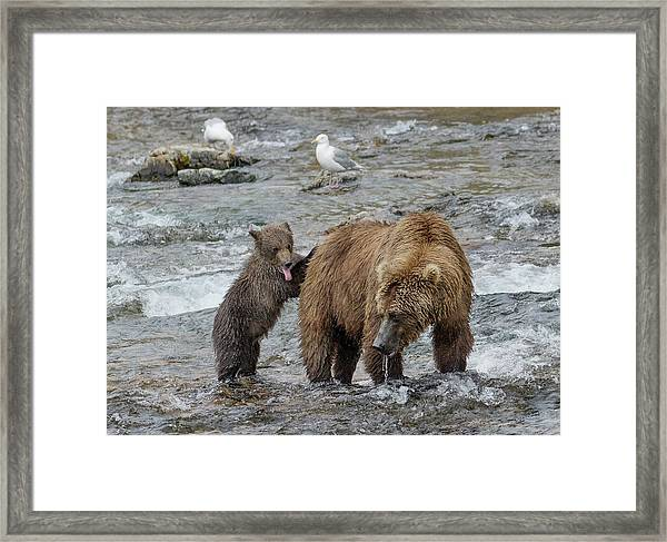Watching For The Sockeye Salmon Framed Print