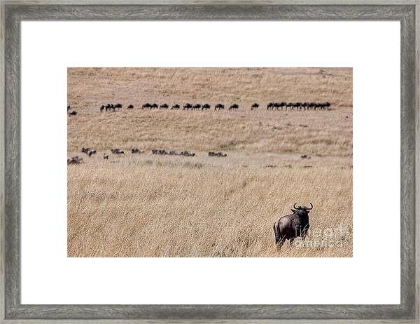 Watching The Herd Framed Print