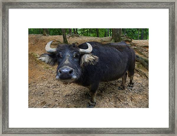 Water Buffalo On Dry Land Framed Print