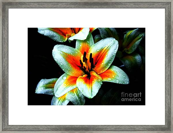 Water Droplet Covered White Lily  Framed Print