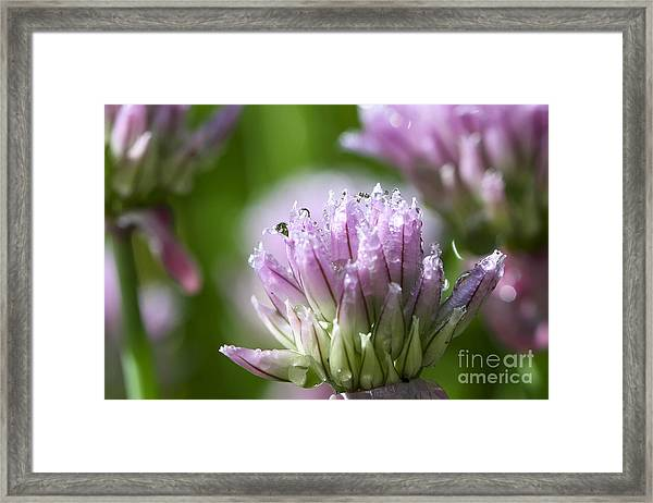 Water Droplets On Chives Flowers Framed Print