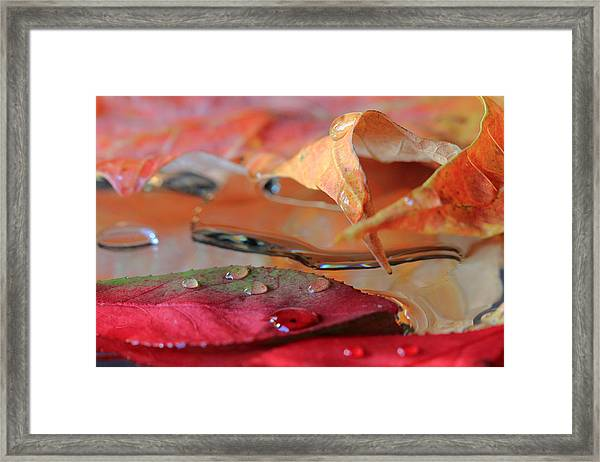 Water Drops On Autumn Leaves Framed Print