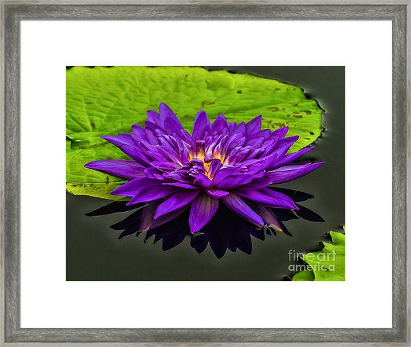 Water Lily 15-2 Framed Print