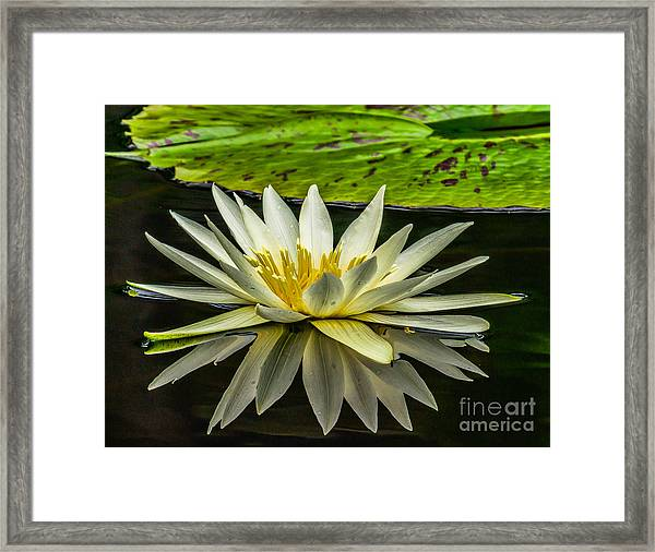 Water Lily 15-3 Framed Print
