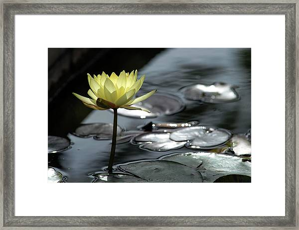 Water Lily And Silver Leaves Framed Print