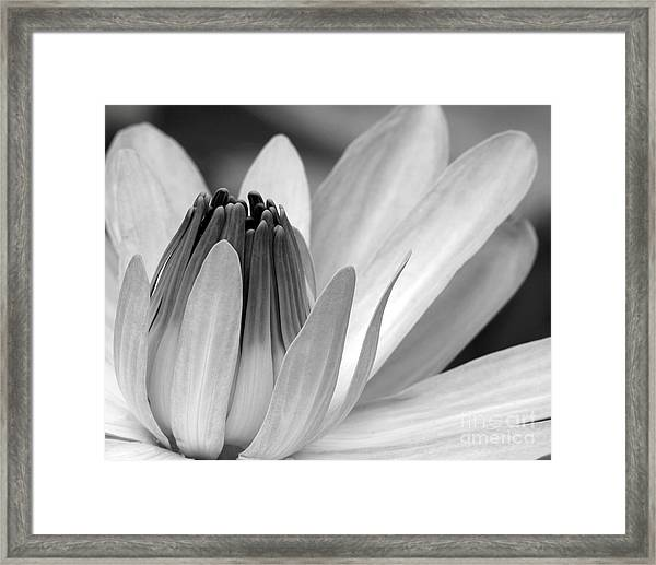 Water Lily Opening Framed Print