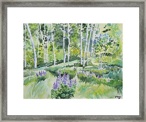 Watercolor - Early Summer Aspen And Lupine Framed Print