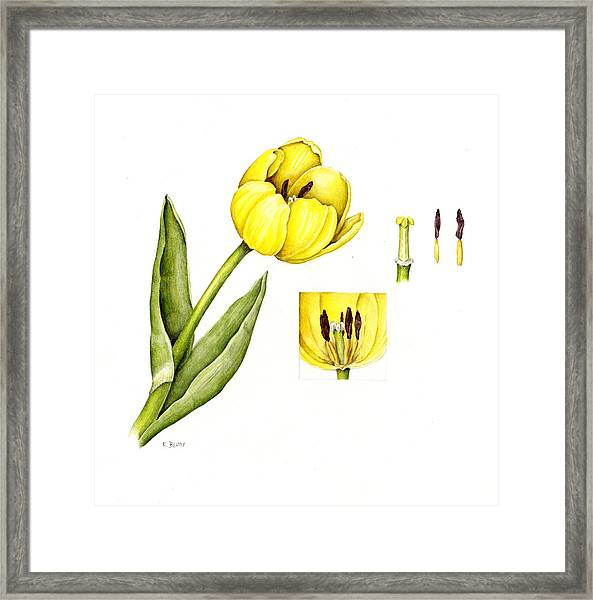 Watercolor Flower Yellow Tulip Framed Print