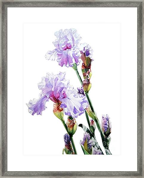 Watercolor Of A Tall Bearded Iris I Call Lilac Iris Wendi Framed Print