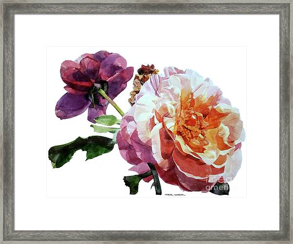 Watercolor Of Two Roses In Pink And Violet On One Stem That  I Dedicate To Jacques Brel Framed Print