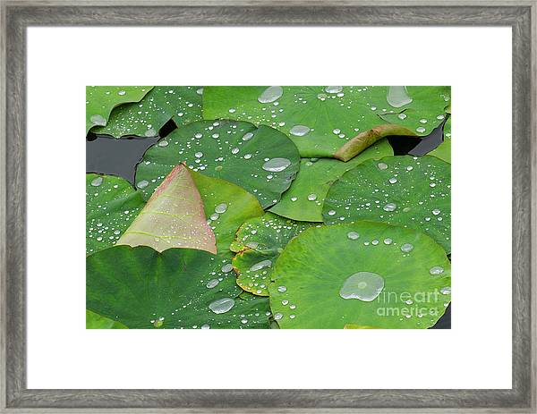 Waterdrops On Lotus Leaves Framed Print