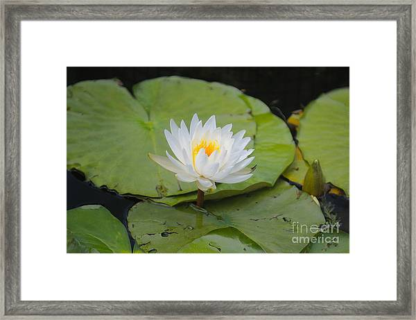 Waterlilies Framed Print by Miguel Celis