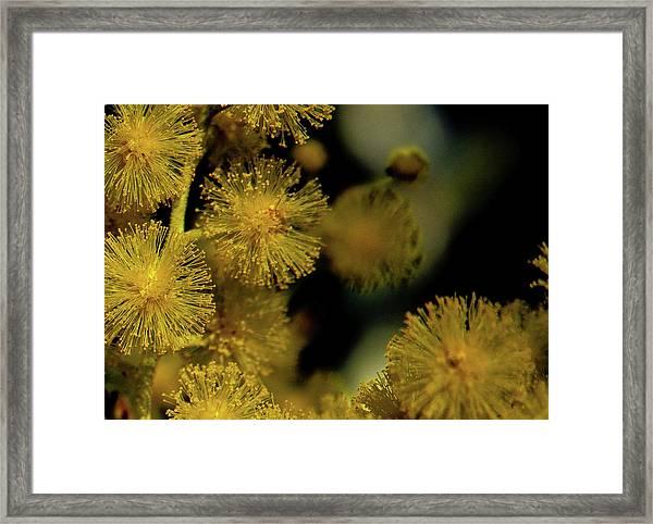 Wattle Flowers Framed Print