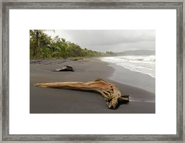Weathered Tree On Costa Rica Beach Framed Print