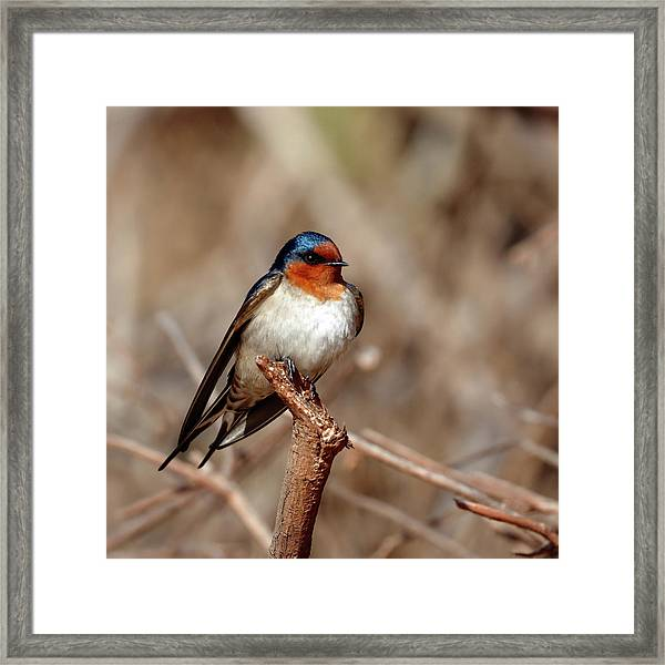 Welcome Swallow Framed Print