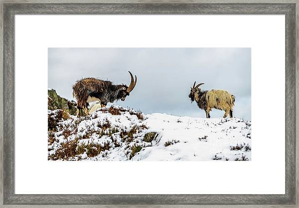 Welsh Mountain Goats Framed Print