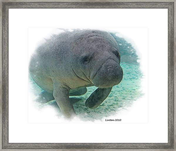 West Indian Manatee Framed Print