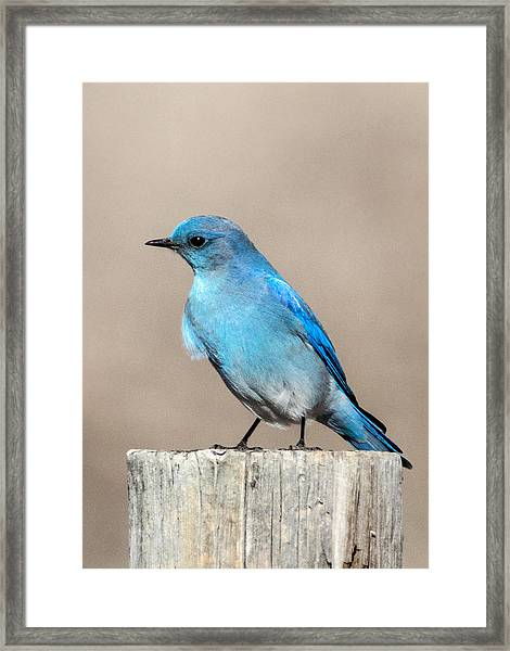 Mountain  Bluebird Framed Print