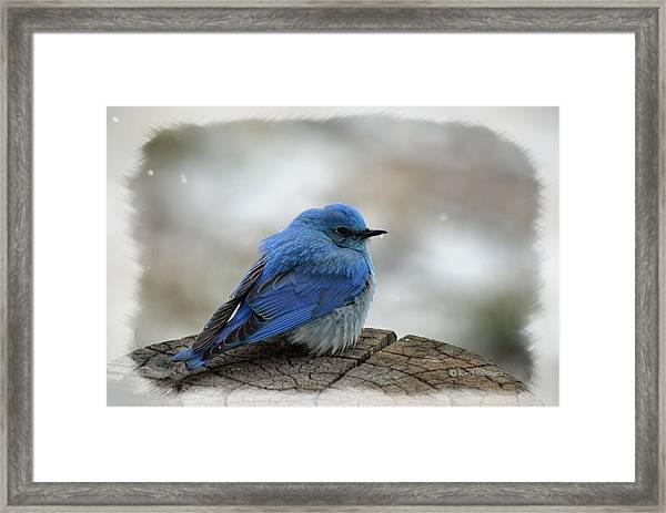 Western Bluebird On Cold Day Framed Print