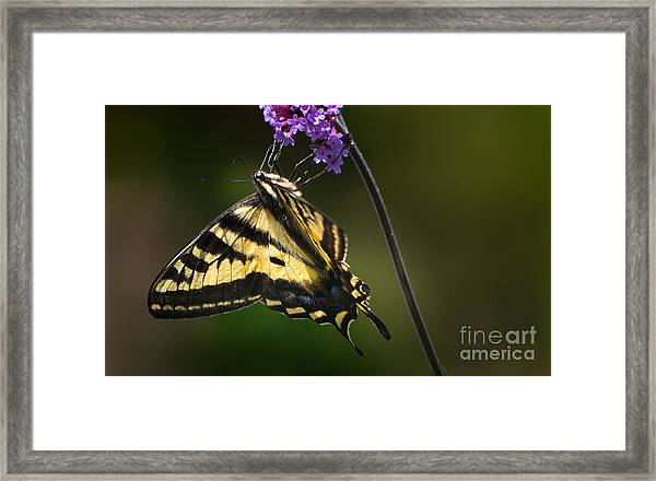 Western Tiger Swallowtail Butterfly On Purble Verbena Framed Print