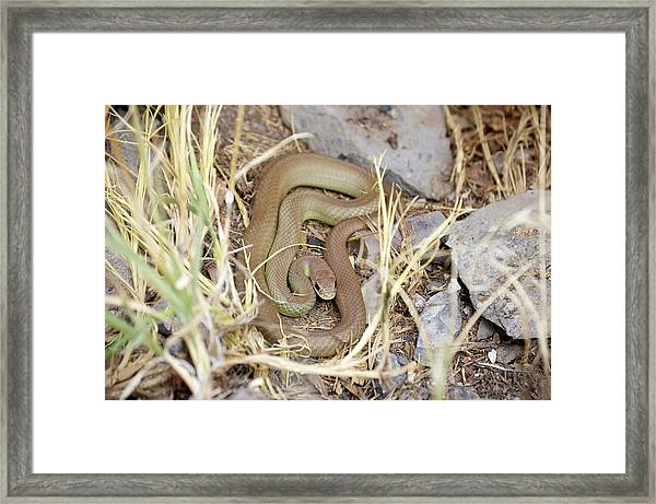 Western Yellow-bellied Racer, Coluber Constrictor Framed Print