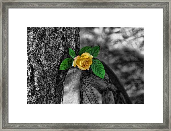 Western Yellow Rose Two Tone Framed Print