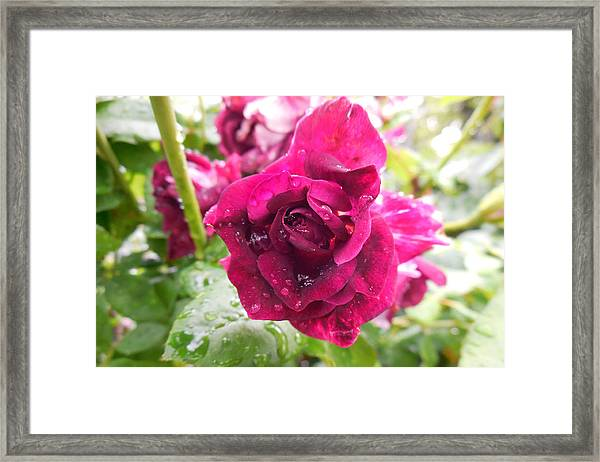 Wet Rose Framed Print