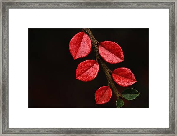 Wet Scarlet Framed Print