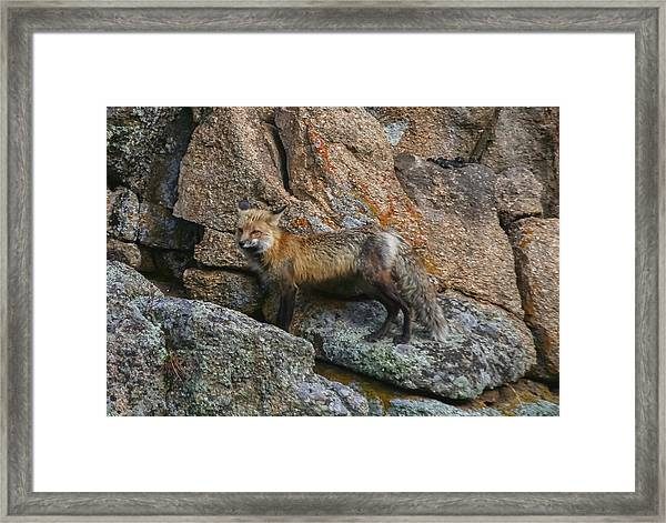 Wet Vixen On The Rocks Framed Print